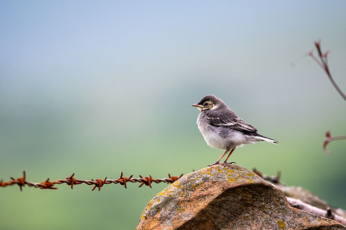 Pied_Wagtail_Banner.jpg