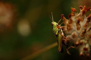 Medow Grasshopper
