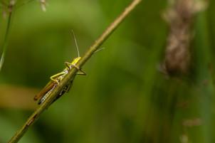 Medow Grassshopper