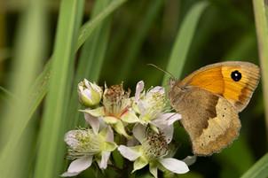 Medow Brown Butterfly