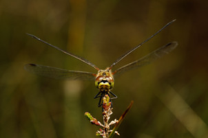 Female Black Darter Dragonfly
