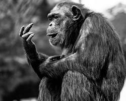 Winner Photo Chimps LA Zoo