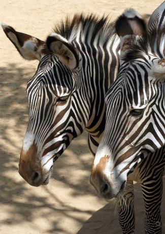 Zebra La Zoo 2017