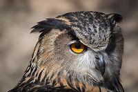 Close Up Owl