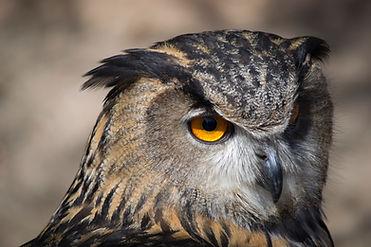 Close Up Owl eye