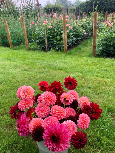 4th August 19 Dahlias.jpg