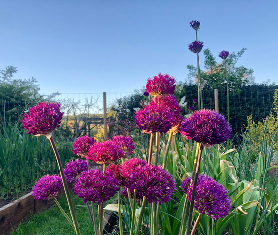 22nd May 2019 Purple Sensation Allium.jp