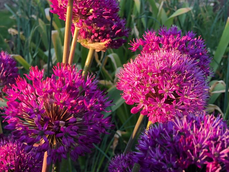 Alliums in evening sun 22nd May 19.jpg