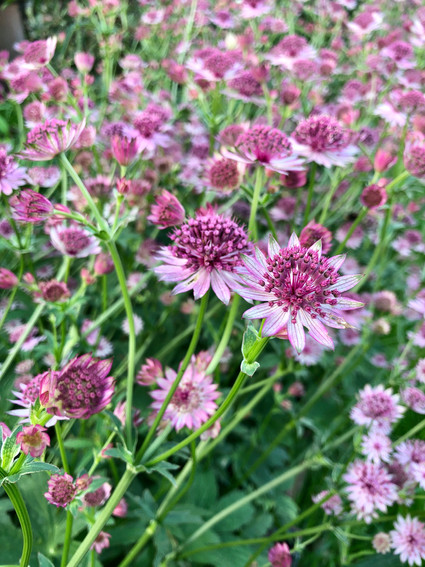 Astrantia - one of my favourites