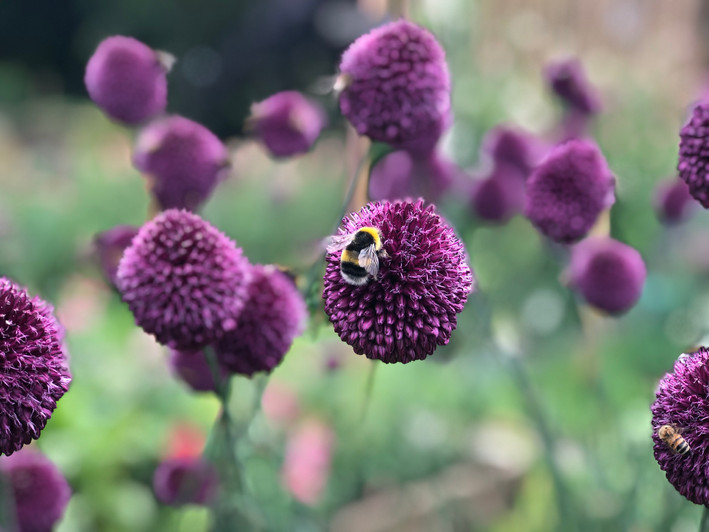 3rd August 19 Bee on Allium.JPG