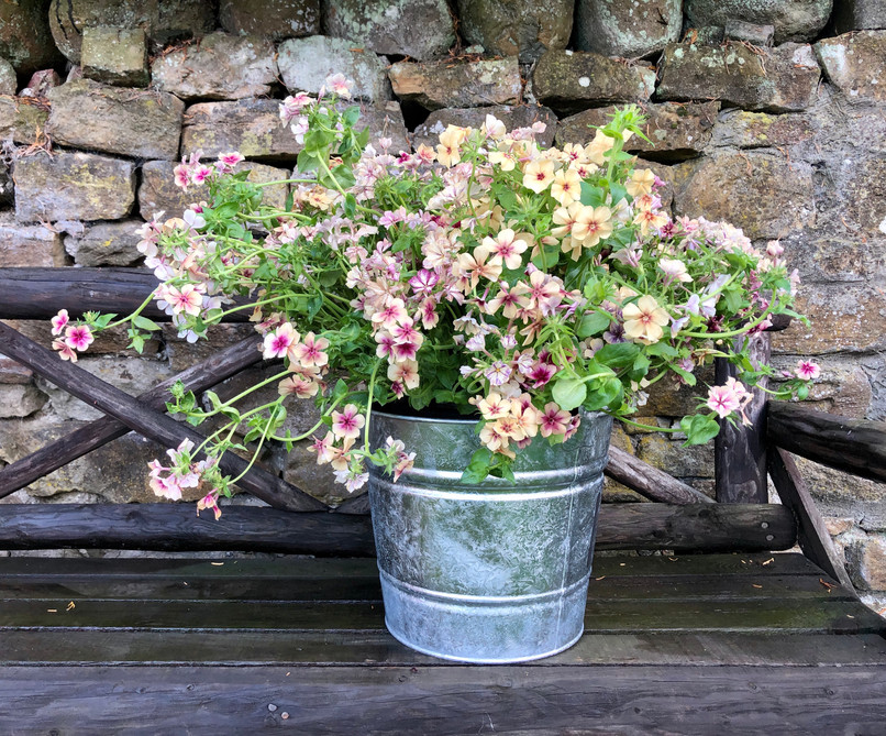 Phlox - by the bucket load!