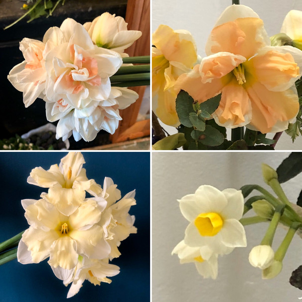 Narcissi Spring 2020 Early April