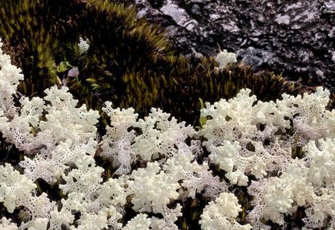 The coral lichen Cladia ferdinandi.