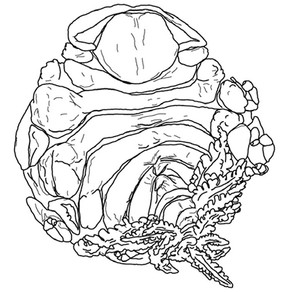 A new parasite of coral crabs