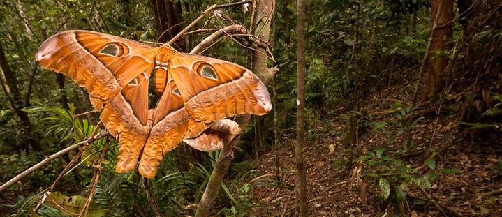 Hercules moth.jpg