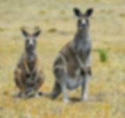 Eastern Grey Kangaroo_edited.jpg