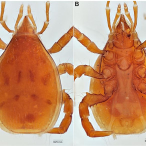 New beetle-riding mites