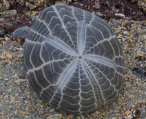An urchin, Metalia spatagus from Sydney Harbour