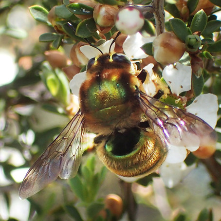 This big, beautiful bee is in serious trouble