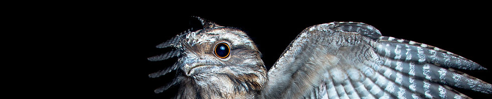 Frogmouth - IMG_6575 -James Dorey.jpg