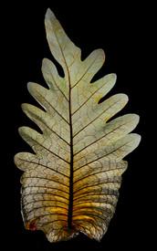 Sheathing basal frond of the fern Drynaria quercifolia.jpg