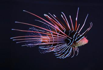 Clearfin lionfish (Pterois_radiata)