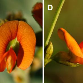Three new species of arid-zone pea plants