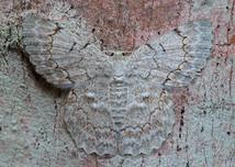 The geometrid moth Pingasa chlora