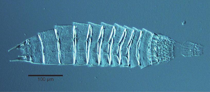 Echinoderes_hwiizaa.jpg