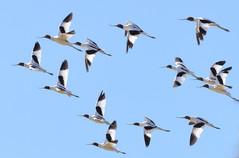 Avocets (Recurvirostra novaehollandiae) in flight