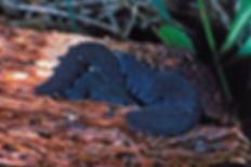 velvet worms.jpg