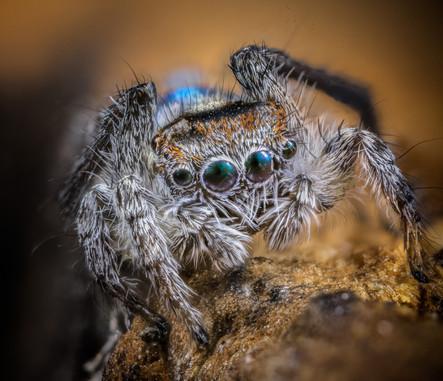 A peacock spider (Maratus sp.)