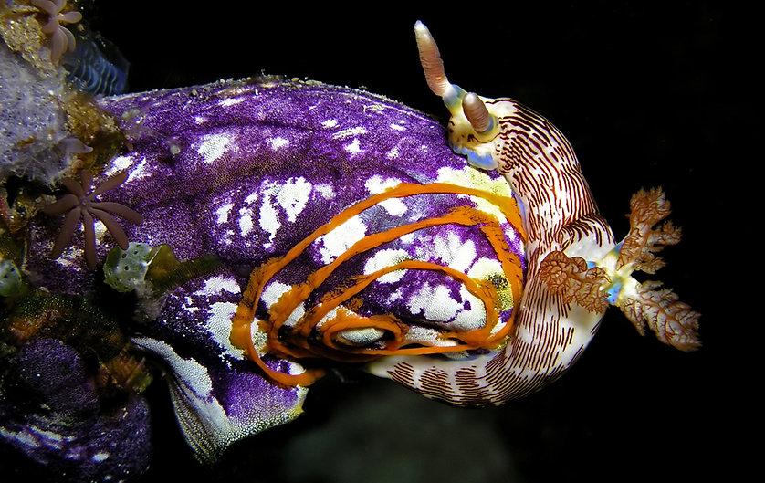 Nembrothea lineolata.jpg