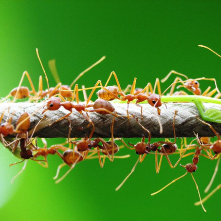 A green ant game of thrones