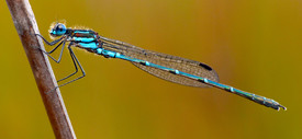 Cup ringtail damselfly Austrolestes psyche