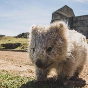 How many wombats?