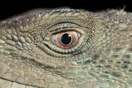 Gippsland Water Dragon, Intellagama lesueurii howittii