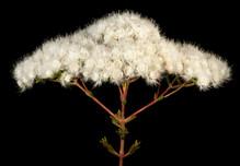 Verticordia brownii