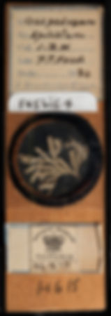 craspedozoum-spicatum-bryozoan-microslid