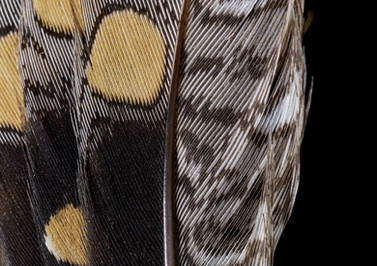 Painted snipe (Rostratula australis) feather