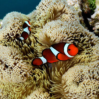 False clownfish (Amphiprion ocellaris) in their host anemone, a magnificent sea anemone (Heteractis magnifica)