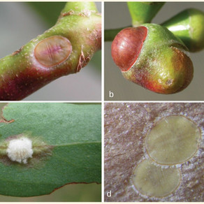 Seven new species of galling scale insects