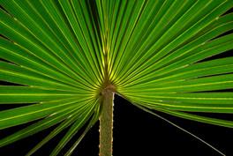 The sand palm Livistona humilis