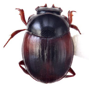New native dung beetles