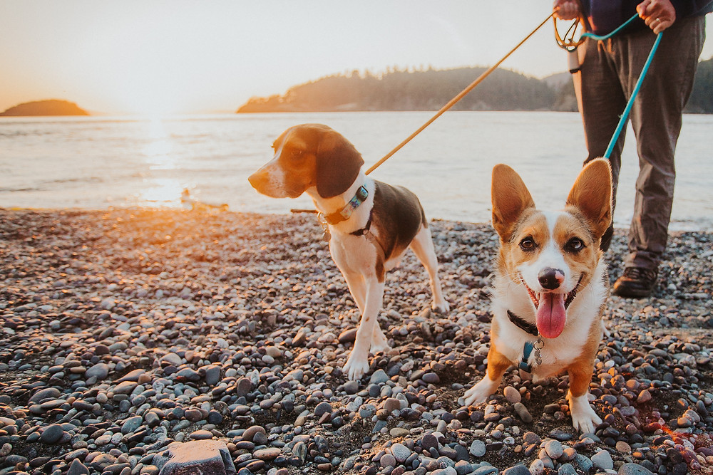 Corgi and Beagle