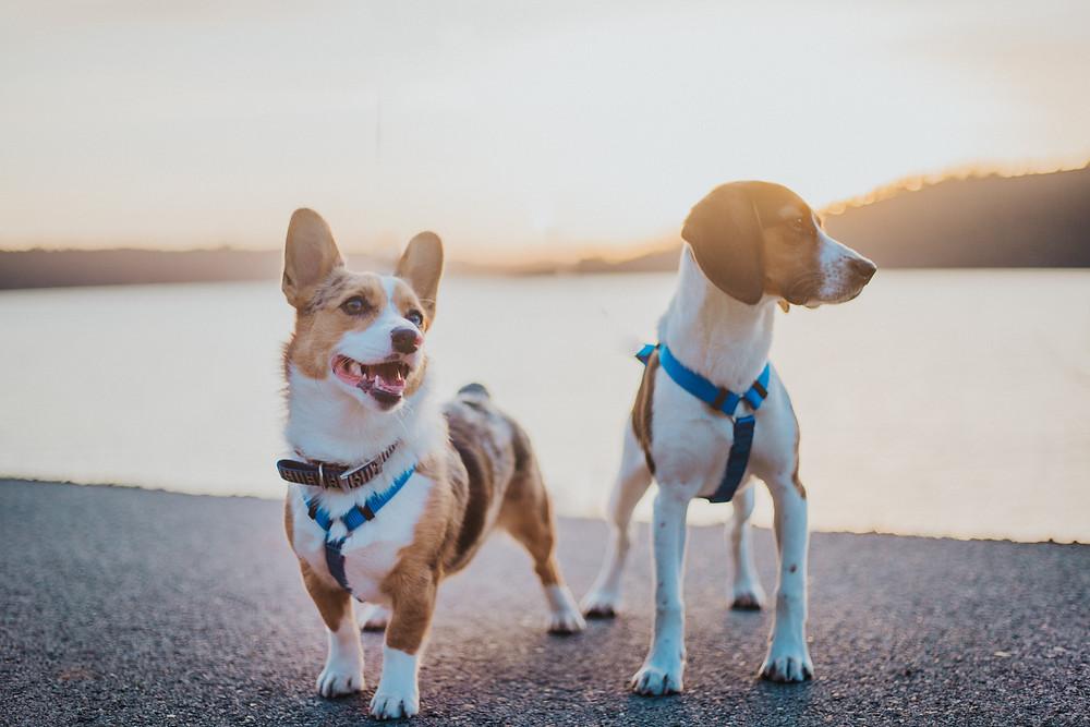 Corgi and Beagle