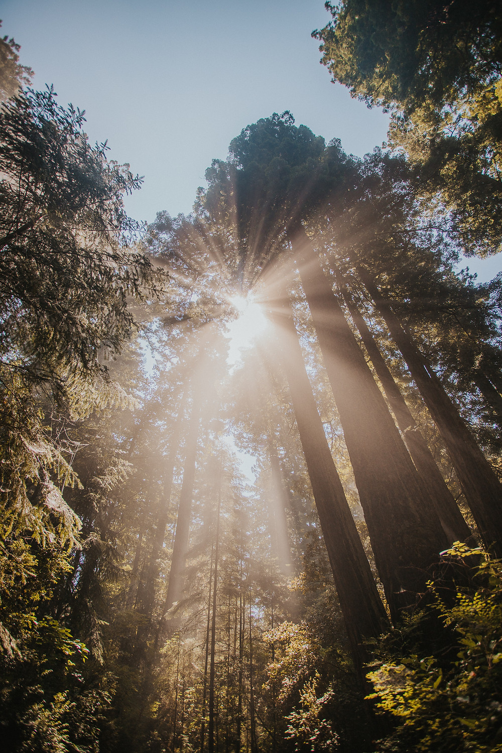 Redwood Forest with Sun Rays