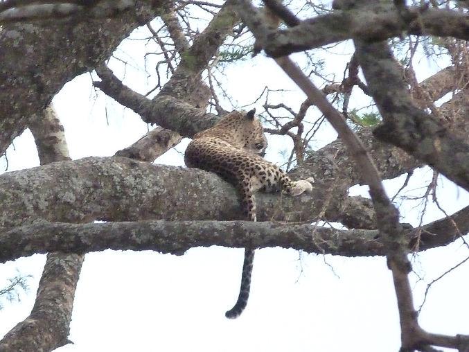 Leopard in tree4.JPG