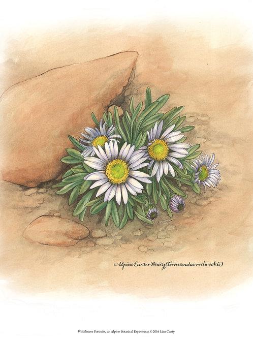 Alpine Botanicals - Alpine Easter Daisy