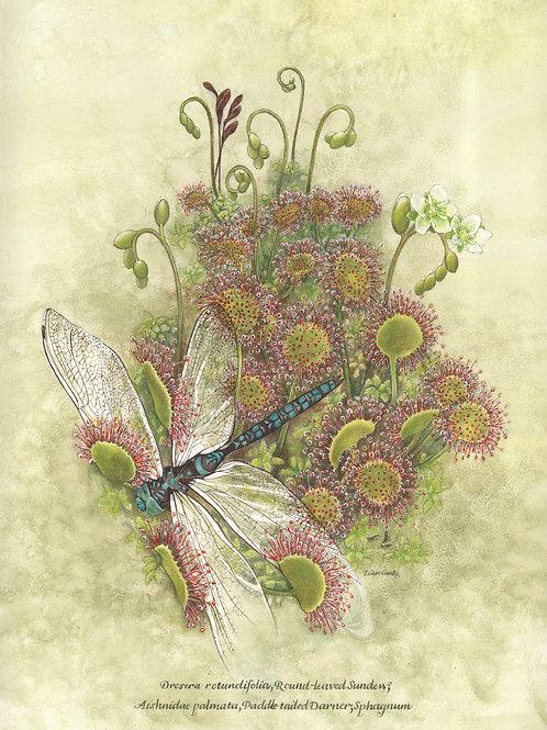 Wildflower Botanicals - Drosera & Dragonfly